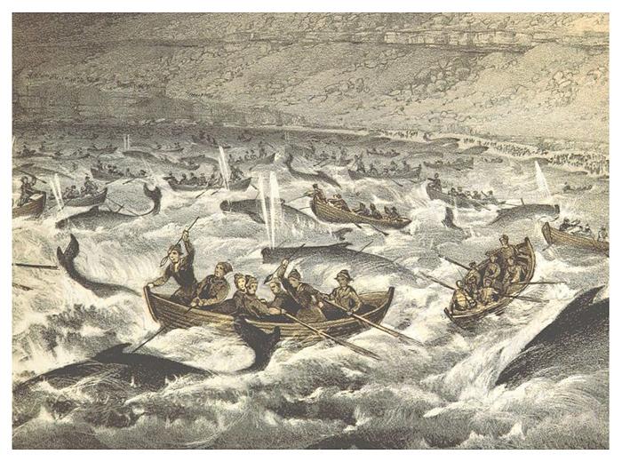 Китобойный промысел на Фарерских островах, 1855 год.