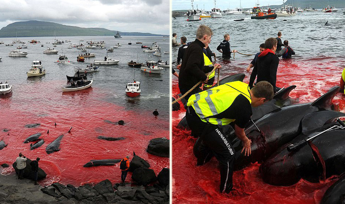 Китобойный промысел на Фарерских островах.
