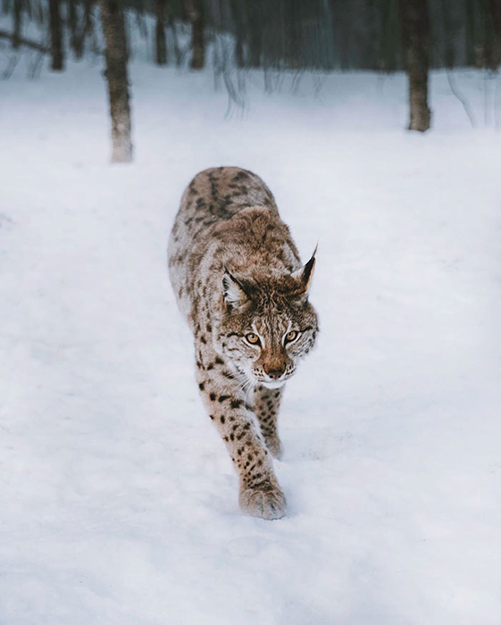Рысь.  Фото: Mads Nordsveen.
