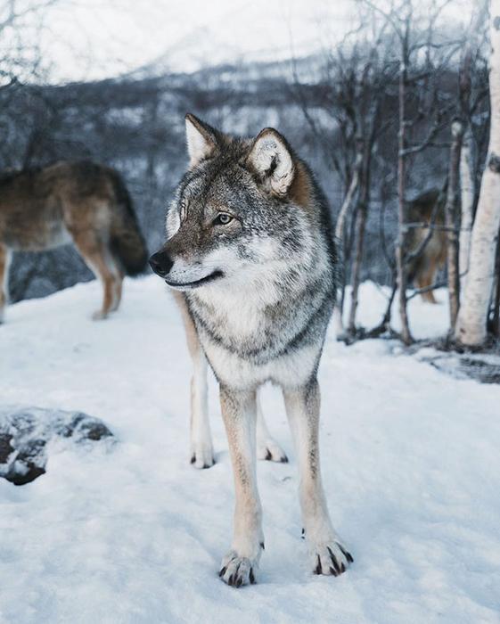 Волк.  Фото: Mads Nordsveen.