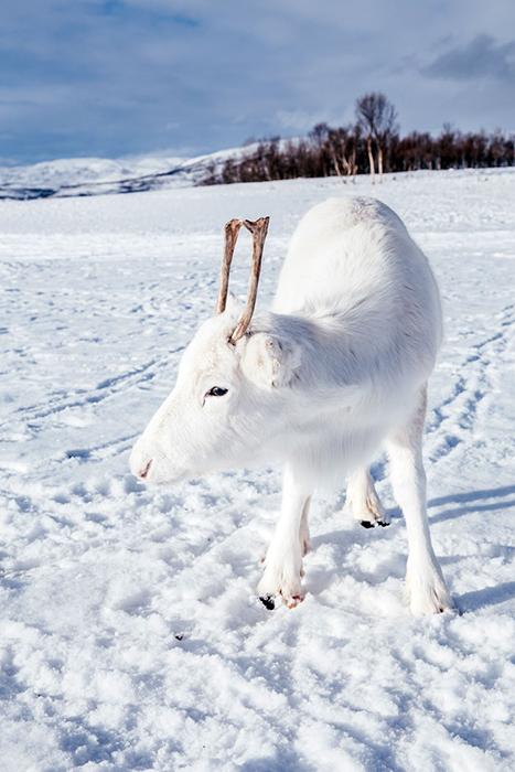Белый олененок практически сливался цветом со снегом.  Фото: Mads Nordsveen.