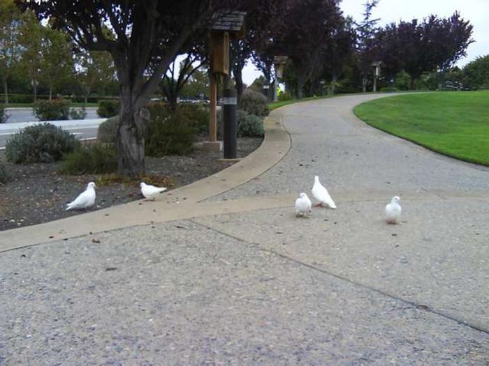Белые голуби часто теряются и становятся легкой добычей хищников.