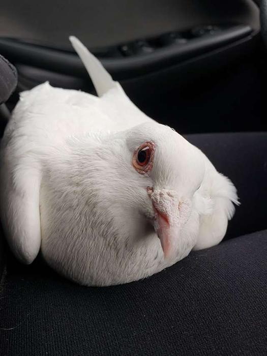 Белый голубь Люки-Лью.