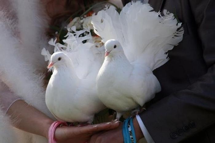 Свадебные голуби «насчастье».