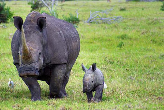 Белла до удаления рога. В 2008 году ее рог был намерено удален, чтобы обезопасить ее от нападения браконьеров.