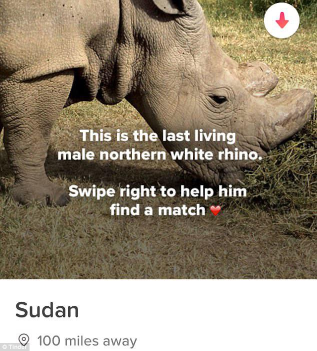 Профиль Судана на Тиндере. *Это последний живущий северный белый носорог. Помоги ему найти свою пару.*