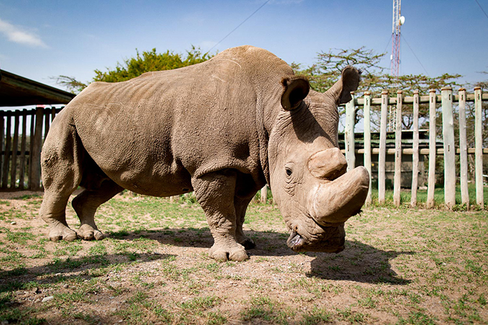 Большую часть жизни Судан провел в чешском зоопарке и только на старости лет снова вернулся в Африку.