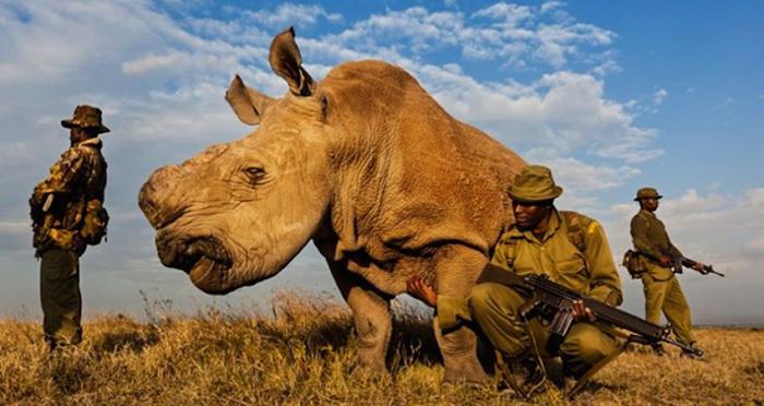 Судану намеренно удалили рог, чтобы минимизировать возможность браконьерства.