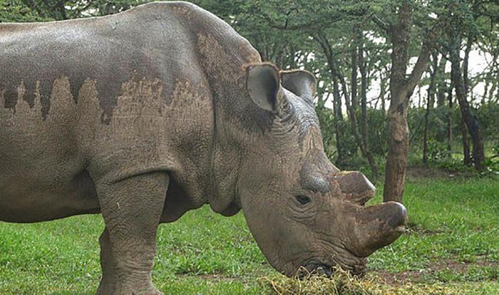 В 2014 году в зоопарке Сан-Диего скончался второй из остававшихся самцов северного белого носорога Ангалифу.
