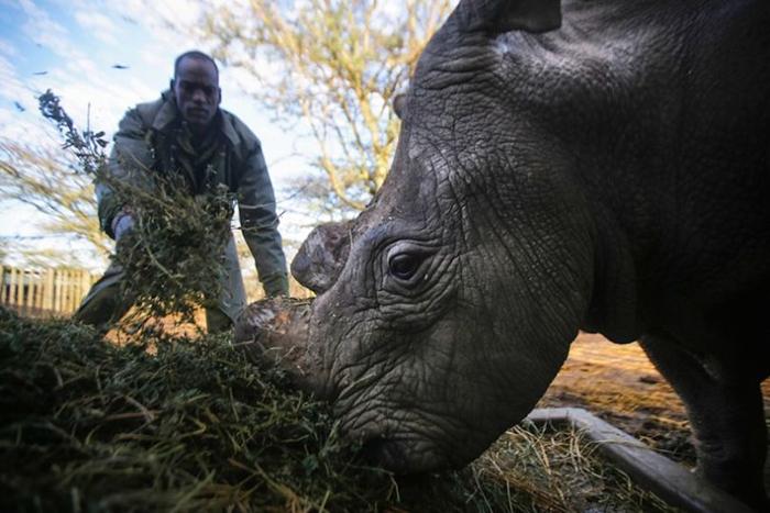 Сейчас все три представителя северного белого носорога живут в одном заповеднике Кении.