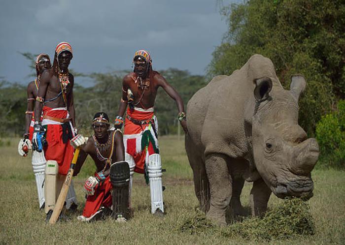 Угроза браконьерства никогда не исчезала, и потому к носорогу приставлена круглосуточная охрана.