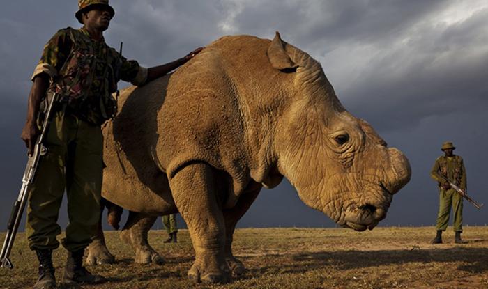 Последний в мире самец северного белого носорога.