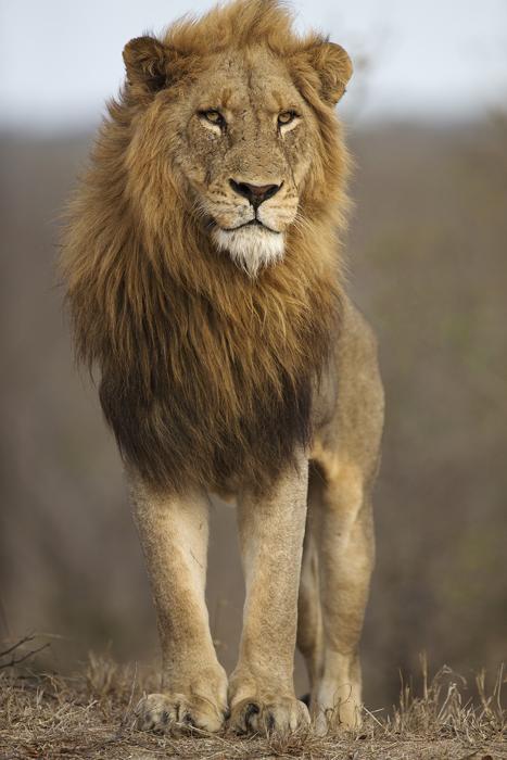 Частный заповедник Тимбавати, ЮАР. Автор фото: MARIUS COETZEE.