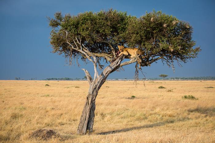 Заповедная зона Мара в Кении. Автор фото: ANDREW BECK.
