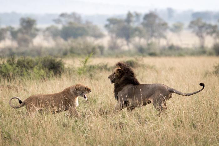 Национальный заповедник Масай Мара в Кении. Автор фото: SUSAN PORTNOY.