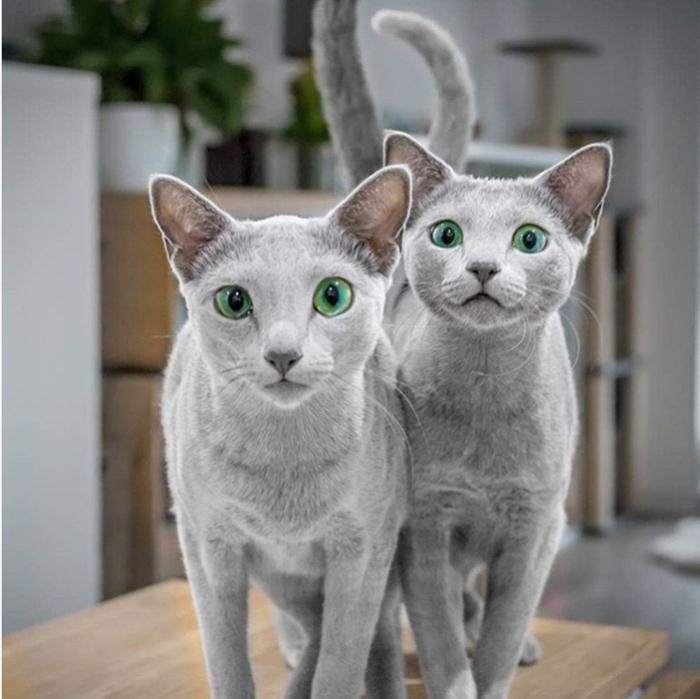 Кошки из Англии.
