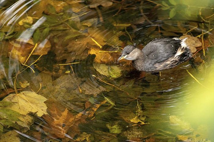 Птица плывет по осеннему пруду с кристально чистой водой. Фото: Gideon Knight.