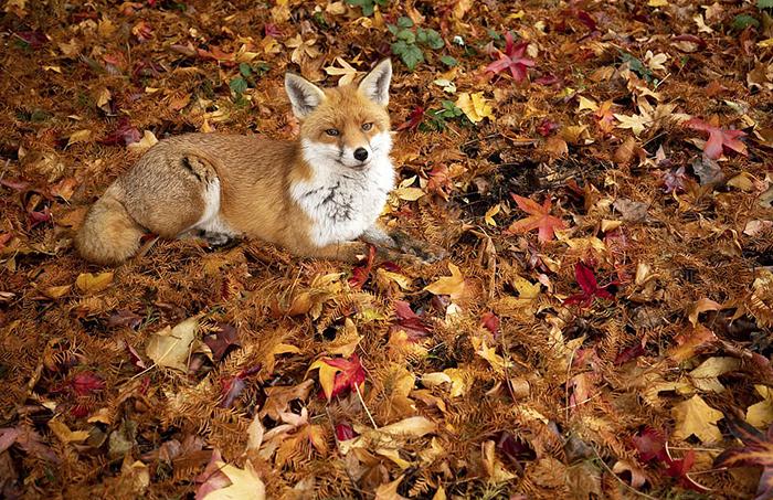 Лиса отдыхает в осенней листве. Фото: Gideon Knight.