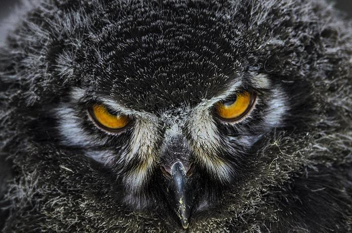 Амбарная сова. Фото: Joshua Myers.