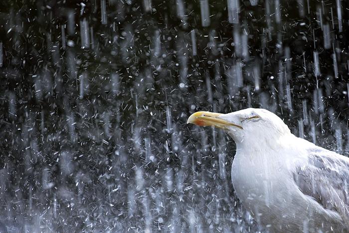 Чайка под дождем. Фото: Gideon Knight.