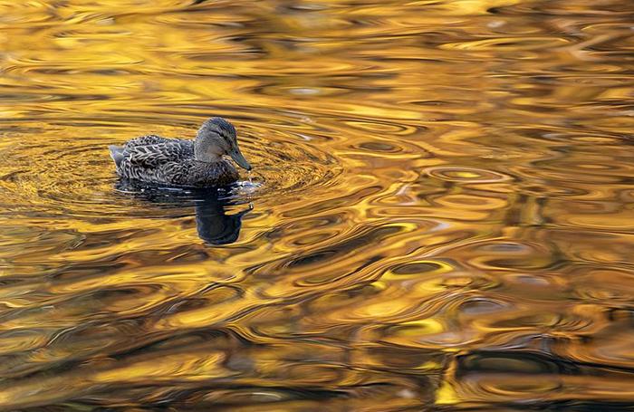 Утка в золотом пруду. Фото: Gideon Knight.
