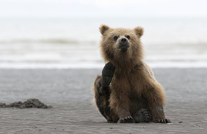 Медвежонок. Фото: Will Jenkins.