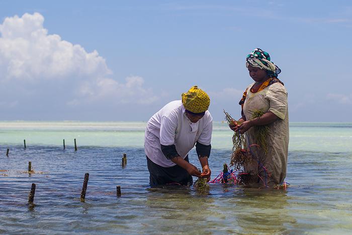 Мванайша со своей родственницей подвязывают водоросли.