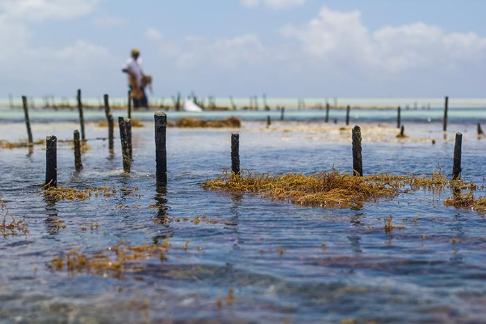 Ферма водорослей в Индийском океане.