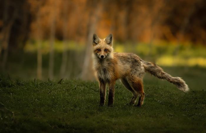 Молодой лисёнок игриво стоит на вершине холма на закате. Снято в Юте.