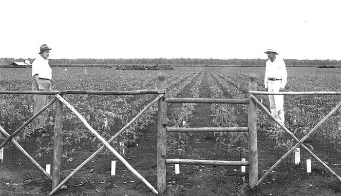Растения каучукового дерева в питомнике, 1935 год.