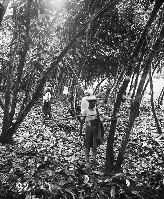 Рабочие собирают стручки какао.