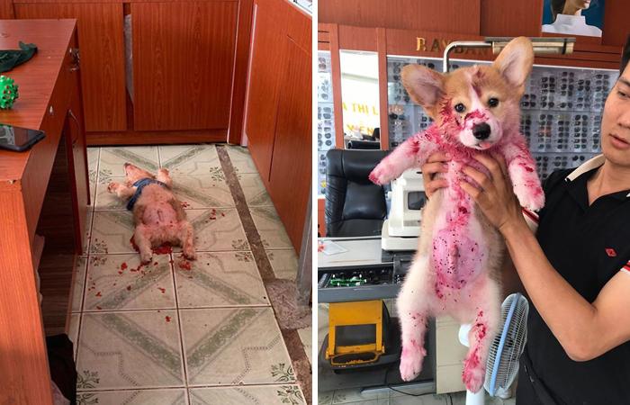 Хозяин нашёл свою собаку лежащей на полу, всю залитую красной липкой жидкостью... Это был просто драконий фрукт!
