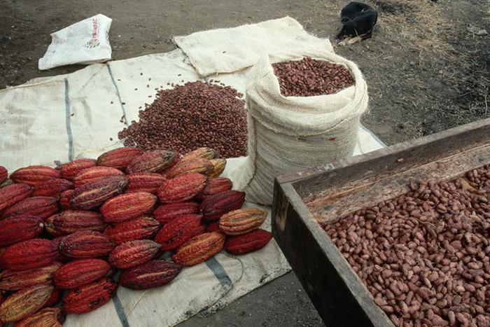Какао-бобы и стручки.