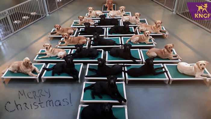 Сотрудники службы по подготовке собак-поводырей построили ёлку из своих подопечных!