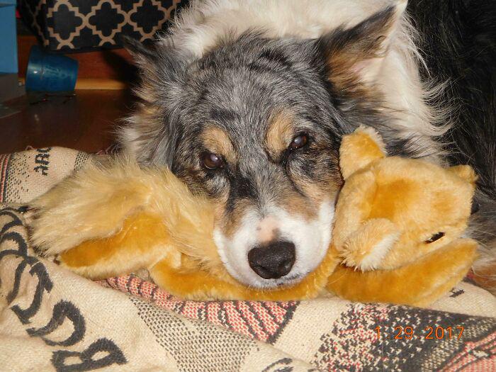 13 лет он безуспешно пытался поймать белку. Хозяин только что купил ему плюшевую, и бесконечно счастливая собака весь день таскала её с собой и прижималась к ней. Прости, что так долго пришлось ждать, приятель.