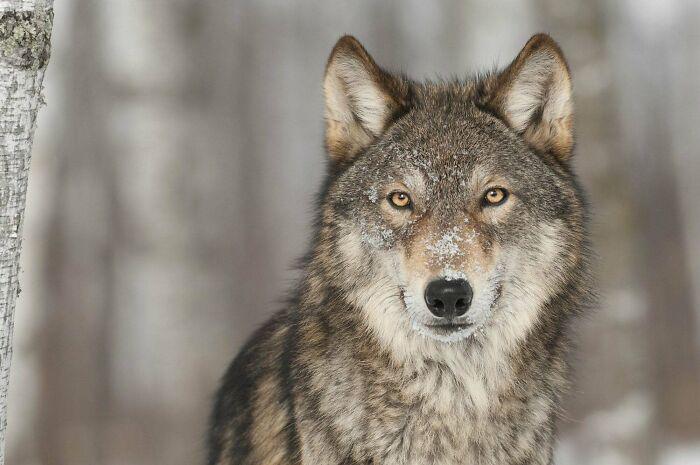 Волки и вороны - друзья?
