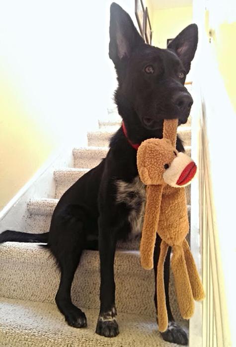 Пёс всегда встречает хозяина вместе со своим плюшевым другом.
