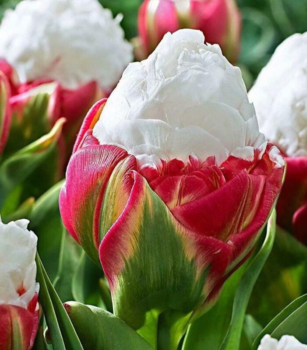 Уникальный сорт тюльпанов под названием Ice Cream Tulip.