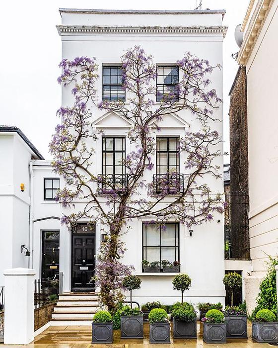 Глициния забирается на дом в Южном Кенсингтоне, Лондон.