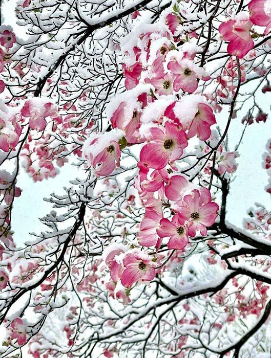 Розовые цветы на дереве в снегу Канзас-Сити.