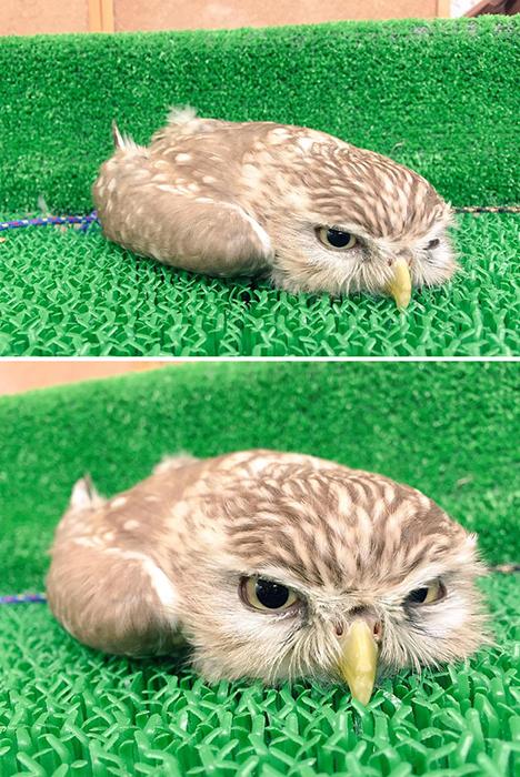 В западной культуре сова является символом мудрости.