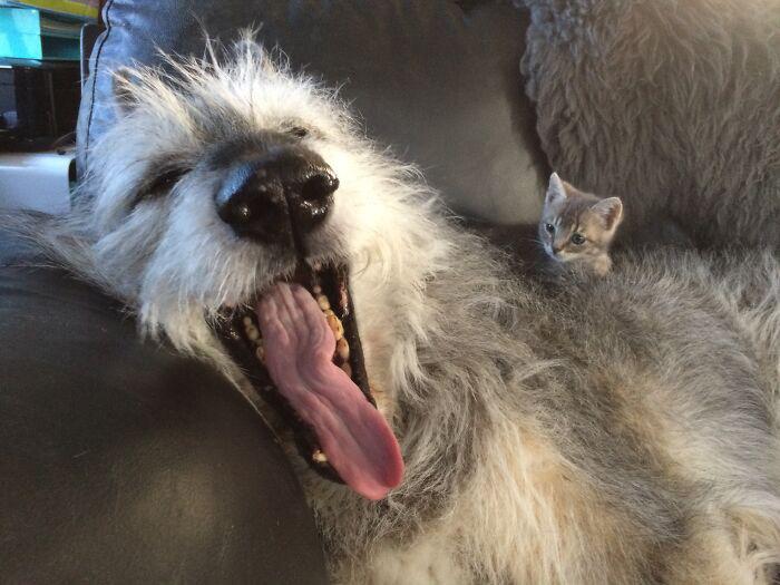 Крошечный котенок наблюдает как зевает большая собака.