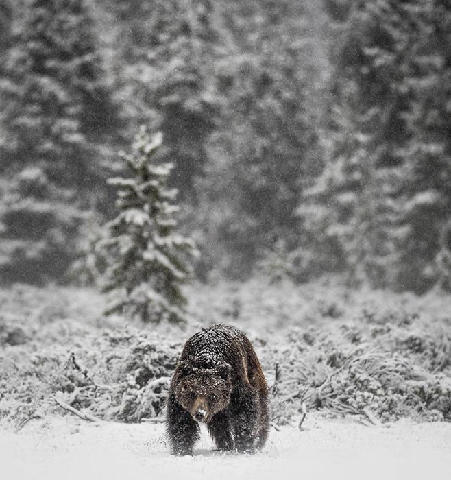 Покрытый снегом гризли идёт по свежевыпавшему снегу в поисках полёвок, чтобы поесть. Снято в Вайоминге.