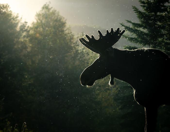 Лось на закате. Снято в горах Уосатч в штате Юта.