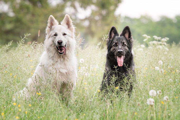 Нимуэ (Altdeutscher Schäferhund) и Лиам (белая швейцарская овчарка).