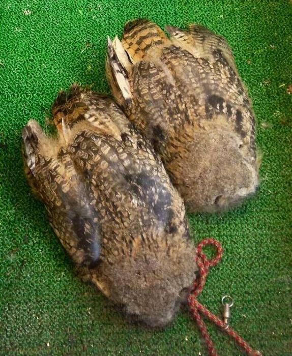 Майкл Рис считает, что молодые совы так спят, потому что голова слишком тяжела.