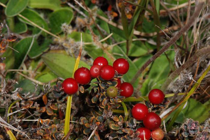 Новозеландский кустарничек Acrothamnus colensoi, плоды которого пришлись по вкусу ежам.