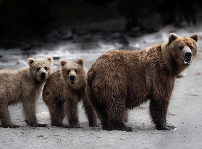 Семья бурых медведей остановилась осмотреться, прежде чем продолжить спуск по пляжу. Снято на полуострове Аляска.