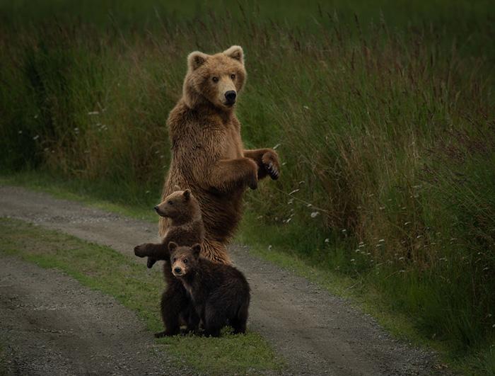 Самка бурого медведя стоит на страже двух своих детёнышей. Снято на полуострове Аляска.