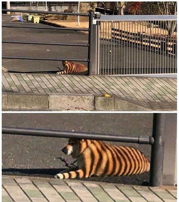 Посмотри на бенгальского тигра... Нет, нет, погоди...